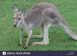 Koala Family Stockfotos Koala Family Bilder Alamy