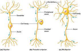 ระบบประสาท (Nervous System)
