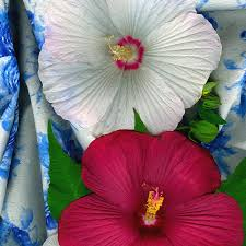 Hardy Hibiscus Photograph by Wendy Erickson