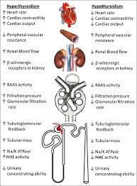 Effects Of Hyperthyroidism And Hypothyroidism On Renal