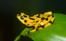 image of a frog. Simple Frog Panamanian Golden Frog For Image Of A Frog