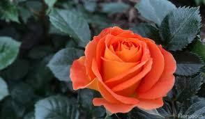 orange roses varieties meanings and