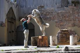 know a wolf by its howl inside the tactics of busch gardens trainers williamsburg yorktown daily