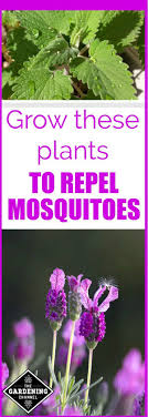 Grow these plants to repel mosquitoes