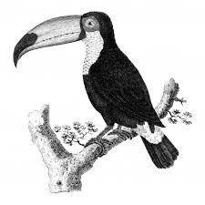 トコの鳥のヴィンテージイラスト ベクター画像 無料ダウンロード
