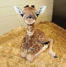 Image of: Baby Giraffe Reddit Look At This Baby Giraffe Eyebleach