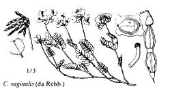 florae.it :: Sp. Coronilla vaginalis