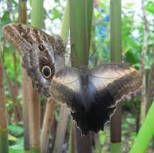 Caligo eurilochus – Wikipedia