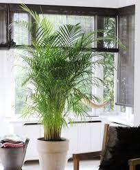 low maintenance office plants. Areca Palm Low Maintenance Office Plants U
