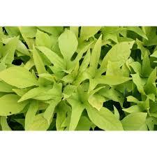 Light Green Sweet Potato Vine Proven Winners Sweet Caroline Light Green Sweet Potato Vine