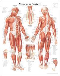 muscle system diagram muscular system   anatomy human body    muscle system diagram human muscle system diagram human anatomy diagram