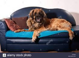 leonberger dog on a sofa