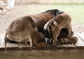 Lamancha Goat Fossil Rim Wildlife Center