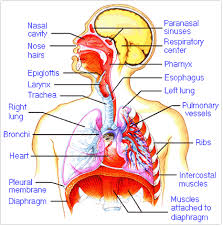 images about respiratory system on pinterest   respiratory        images about respiratory system on pinterest   respiratory system  lungs and respiratory therapy