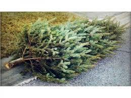 Image result for live christmas tree pickups