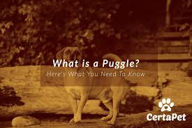 Puggle Growth Chart What Is A Puggle Dog Heres What You Need To Know Certapet