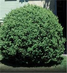 common boxwood tree on the tree guide