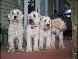 puppies soft coated wheaten