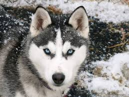 cute husky puppies with blue eyes wallpaper. Modren With Cute Husky Puppies With Blue Eyes Wallpapers Wallpaper Desktop Background To Wallpaper P