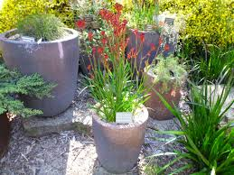 Small Picture Best Australian native plants for pots and containers Gardening