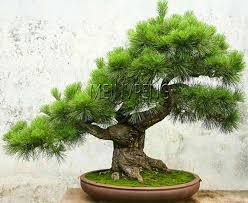 japanese pine tree bonsai pinus thunbergii plant bonsai tree for diy