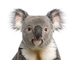 <b>Koalas</b>: Facts About Iconic Marsupials   Live Science