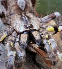 Some Tarantula Bites More Harmful Than Thought Live Science