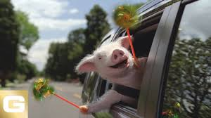Maxwell The Pig Geico Insurance