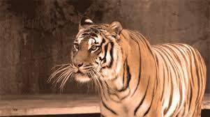 tiger roar tumblr. Contemporary Tumblr Tiger Roar Filmed By Emmanuel Keller For Lex Enjoy With Tumblr G