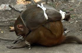Image result for tied monkey nigeria