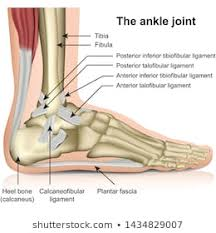Ligament Photos 27 173 Stock Image Results Shutterstock