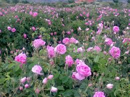 نتيجة بحث الصور عن ماء الورد