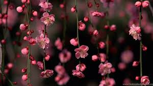 hd wallpapers for laptop,flower,pink ...
