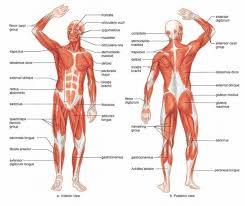 Here is a video that can help to answer questions of the muscles regarding the upper body torso. Anatomy Of Upper Body Anatomy Drawing Diagram