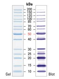 Thermo Scientific Pageruler Unstained Protein Ladder