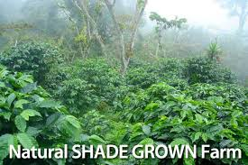 shade grown coffee plantation. Brilliant Grown Shade Grown Coffee Farming To Plantation B