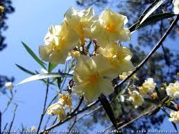 Resultado de imagem para flores de espirradeira