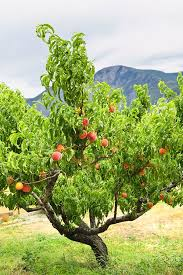 HOW TO SUMMER PRUNE APPLE AND PEAR TREES  YouTubeCan You Prune Fruit Trees In The Summer