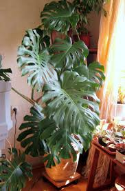 овальные растения рост растений в горшках скорость роста баобаба хвойные растения на газоне схемы посадок растения саванн фото какие культурные растения выращивают на клумбах лечебные растения памира сообщение о