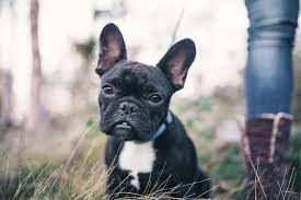 owning a french bulldog what you