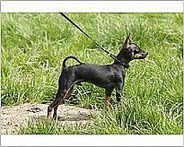 dog breed prague ratter prague ratter on lead photo