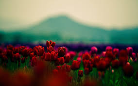 Red Flower Wallpaper Red Flower Wallpaper High Quality Resolution Laptop Wallpapers