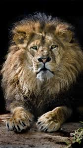 lion wallpaper iphone 6. Interesting Iphone View Full Size  Inside Lion Wallpaper Iphone 6 O