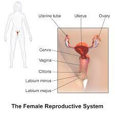 As far as directorial debuts go, a woman, a part is middling. Female Reproductive System Wikipedia
