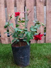 Image result for rose plant