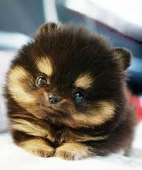 our gallery of the cutest pomsky pups ever