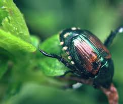 japanese beetles life cycle controlling adult japanese beetles in the garden