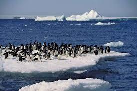 emperor penguin predators and prey. Beautiful Emperor Adlie Penguins Pygoscelis Adeliae Congregating On An Ice Floe Intended Emperor Penguin Predators And Prey