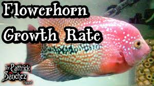 Flowerhorn Growth Rate Tips For A Healthy Fish