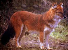 Small Picture Dhole Information